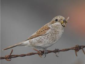 Arı Yiyici Kuşlar