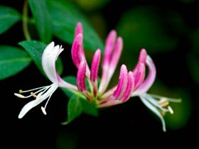 Hanımeli Bitkisinin Üreme Yöntemi