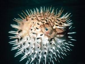 Puf Balığı