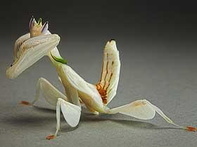 Ormanlarının Sahte Çiçekleri: Mantisler