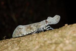 Timsah Böceği