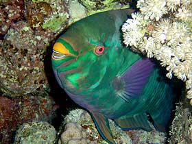 Papağan Balığı