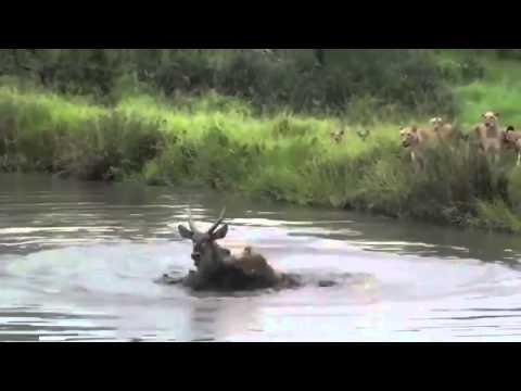 Aslanlar Antiloba Saldırdı