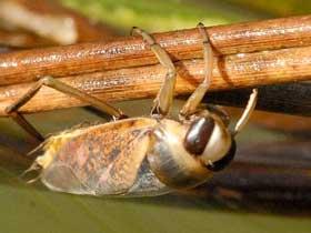 Sırt Üstü Yüzen Böcek