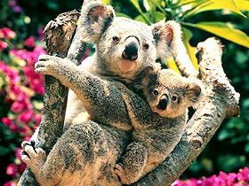Yavru Koalalar