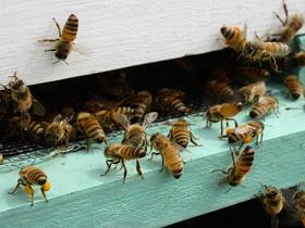 Arıların Kovanlarını Havalandırması