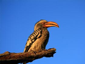 Dişi Hornbill Kuşunun Yuvası