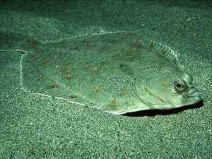 BALIK : Pisi Balığı, Dil Balığı