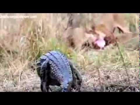 Aslanlara Saldıran Timsahın Sonu