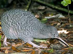 Güçlü Koku Alabilen Kiwi Kuşu