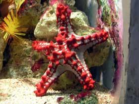Dişi Olmayan Denizyıldızı Yiyeceklerini Nasıl Sindirir?