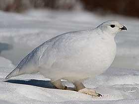 Ptarmigan Kuşu