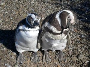 Küçük Kayalık Penguenlerinin Karaya Çıkma Çabaları