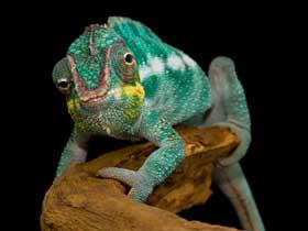 Bukalemunların Renk Değiştirmesi