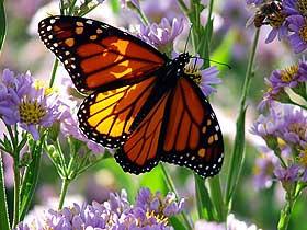 Kelebeklerin Muhteşem Kanatları