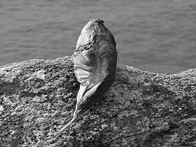 Kaya Balıkları