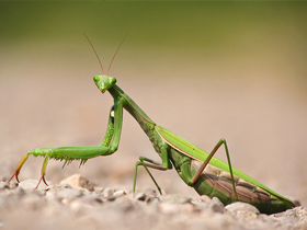 Dişi Mantis