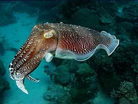 Renk Değiştiren Mürekkep Balıkları ve Ahtapotlar