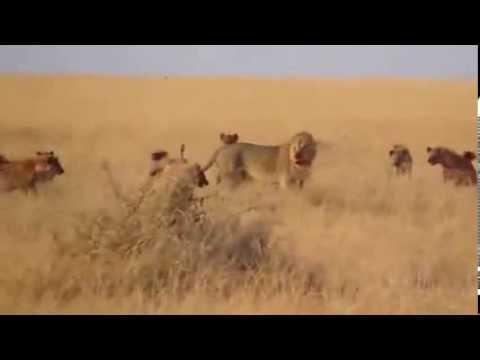 Aslan Sırtlan Sürüsüne Karşı