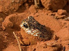 Su Deposu Çöl Kurbağaları