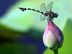 Yusufçuk Böceklerinin Uçuşları