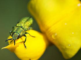 Kum Kazıcı Yaban Arıları