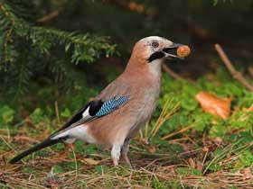 Tohum Depolayan Kuşlar