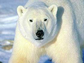 Buzda Hızlı Koşabilen Kutup Ayıları