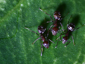 Kör Karıncalar
