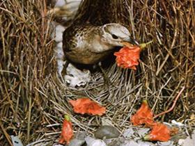 Bower Kuşlarının Süslü Yuvaları