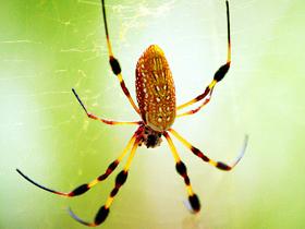 Bahçe Örümcekleri
