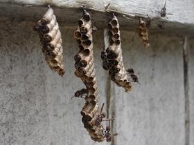 Kağıt Arılarının Yuva Yapma Yöntemleri