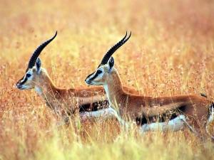 GEVİŞ GETİRENLER : Antilop, Geyik, Manda, Koyun, İnek