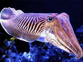 Mürekkep Balıklarının Mükemmel Refleksleri