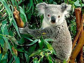 Okaliptüs Ağaçları ve Koalalar