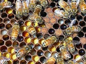Duvarcı Eşek Arılarının Yuvaları