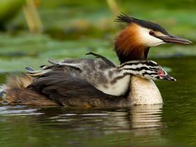 Yavrusunu Kanatlarının Altında Taşıyan Grebe Kuşu