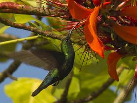 Yakalı Kolibri (Coeligena Torguatua)