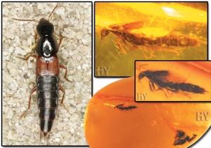 Kalkık Kuyruk Böceği