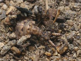 Karınca Aslanının Tuzağı