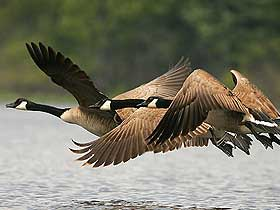 Göç İçin Yağ Depolayan Kuşlar