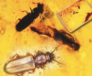Yassı Kabuk Böceği