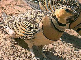 Bağırtlak Kuşu