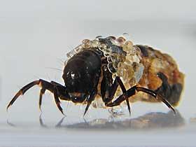 Caddisfly Larvaları