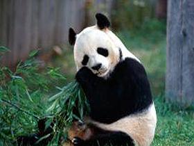 Anne Pandaların Özenli Bakımı