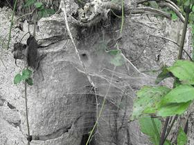 Yuvarlak Çadır Şeklinde Yuva Yapan Örümcekler