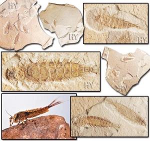 Mayıs Sineği Larvası