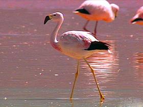 Perde Ayaklı Flamingolar