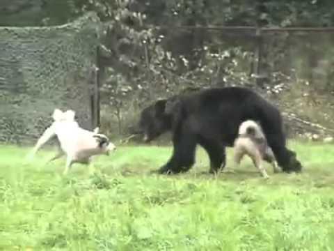 Ayıya Saldıran Köpekler