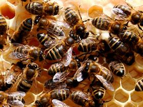 İşçi Arılar